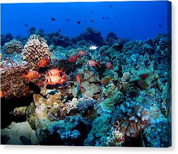 Blackbar Soldier Fish Under A Ledge Canvas Print by Ocean Image Photography