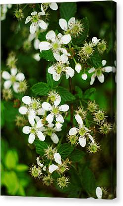 Canvas Print featuring the photograph Blackberry Blossoms by Suzanne Powers