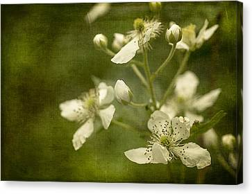 Blackberry Flowers With Textures Canvas Print by Wayne Meyer