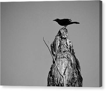 Blackbird Canvas Print by David Mckinney