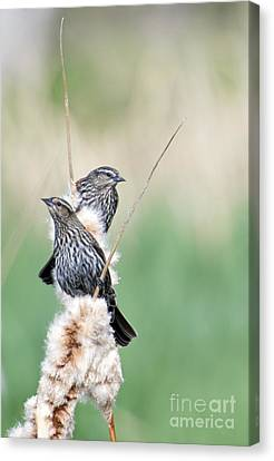 Cattail Canvas Print - Blackbird Pair by Mike  Dawson