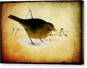Blackbird Under The Feeding Table Canvas Print