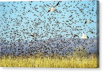 Blackbirds And Geese Canvas Print by Steven Ralser