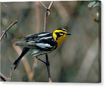 Blackburnian Warbler Canvas Print by Doug Herr