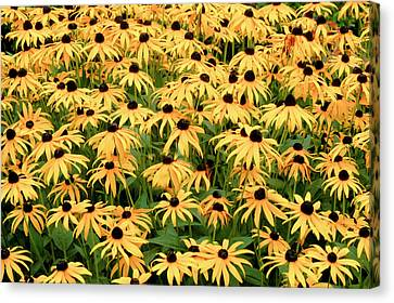 Canvas Print featuring the photograph Blackeyed Susan by Geraldine Alexander