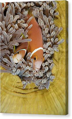 Blackfooted Anemonefish In The Maldives Canvas Print by Scubazoo