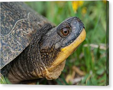 Blanding's Turtle Canvas Print