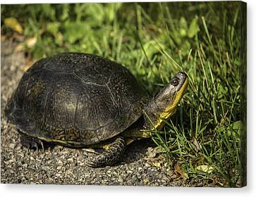 Blanding's Turtle Canvas Print by Thomas Young