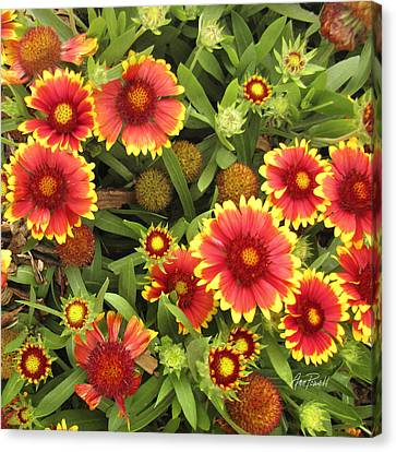 Blanket Flowers  One - Photography Canvas Print by Ann Powell
