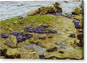 Canvas Print featuring the photograph Blanket Of Seastars by Karen Molenaar Terrell
