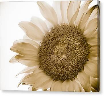 Bleached Sunflower Canvas Print