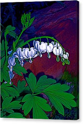 Bleeding Heart 1 Canvas Print