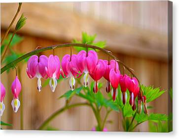 Graceful Arch Of Bleeding Heart Canvas Print by Patti Whitten