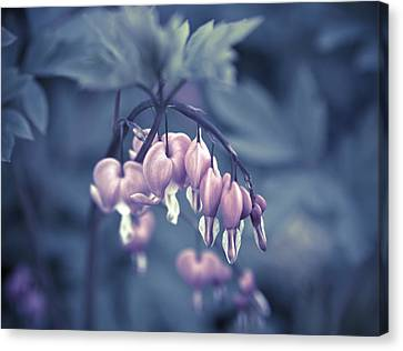 Bleeding Heart Flower Canvas Print by Frank Tschakert