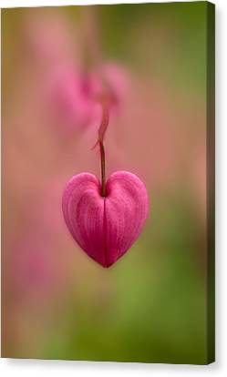 Bleeding Heart Flower Canvas Print