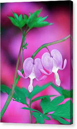 Bleeding Hearts Connecting In Garden Canvas Print by Jaynes Gallery