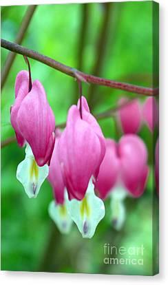 Bleeding Hearts Flowers Canvas Print by Edward Fielding