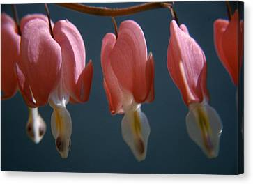 Bleeding Hearts Canvas Print by Retro Images Archive
