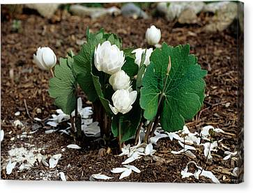 Blood Root Sanguinaria Canadensis Canvas Print by Andrew J. Martinez