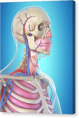 Human Head Canvas Print - Blood Vessels In Head by Sciepro