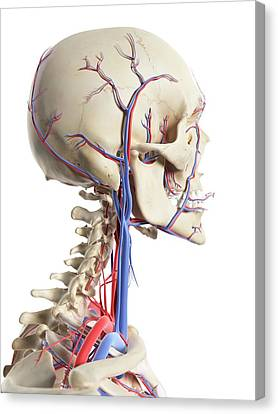 Human Head Canvas Print - Blood Vessels In The Head by Sciepro