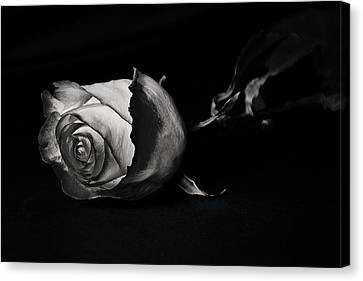 Bloodless Rose Canvas Print