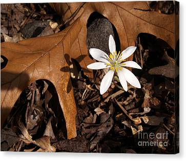 Bloodroot On Forest Floor - Pennsylvania Canvas Print by Anna Lisa Yoder