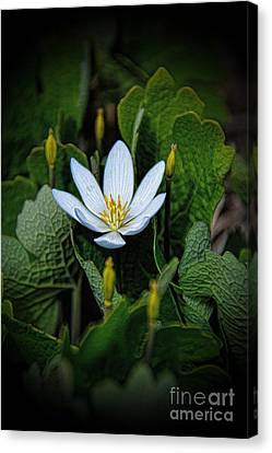 Bloodroot Pretty Poison Canvas Print by Henry Kowalski