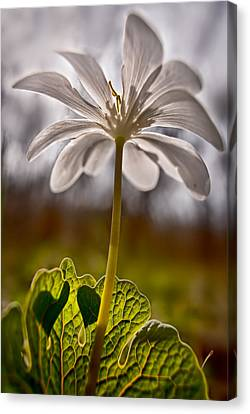 Bloodroot Canvas Print by Robert Charity