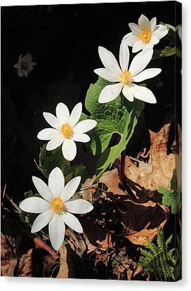 Bloodroot Wildflowers In Shadow Canvas Print by John Burk