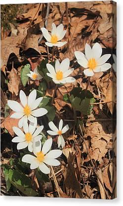 Bloodroot Wildflowers Canvas Print by John Burk