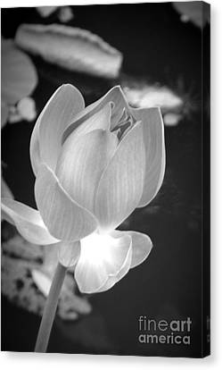 Bloom Canvas Print by Shawna Gibson