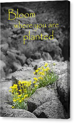 Bloom Where You Are Planted Canvas Print by Debbie Karnes