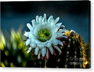 Haybale Canvas Print - Blooming Argentine Giant by Robert Bales