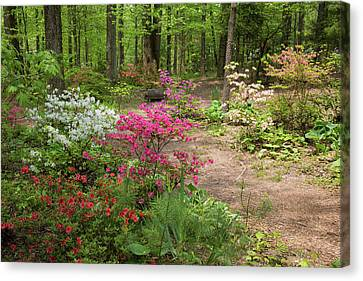 Blooming Azaleas At Azalea Path Canvas Print by Panoramic Images