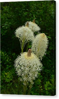 Blooming Bear Grass Canvas Print