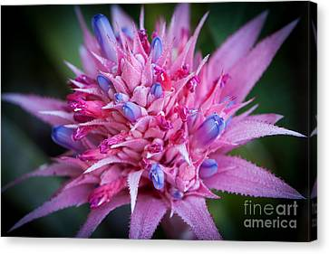 Blooming Bromeliad Canvas Print by John Wadleigh