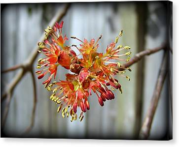 Canvas Print featuring the photograph Blooming Buds by Kelly Nowak