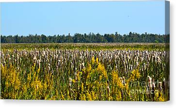 Blooming Cattails As Far As The Eye Can See Canvas Print by Christine Dekkers