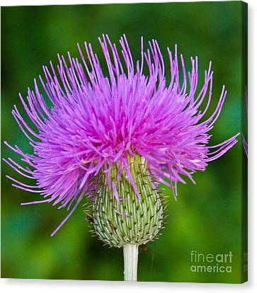 Blooming Common Thistle Canvas Print