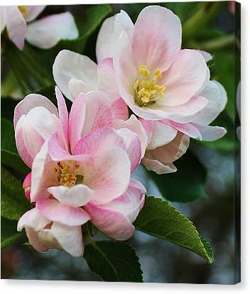 Blooming Crabapple Tree Canvas Print by Bruce Bley