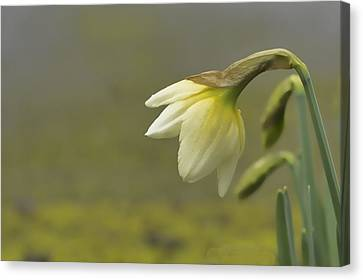 Blooming Daffodils Canvas Print