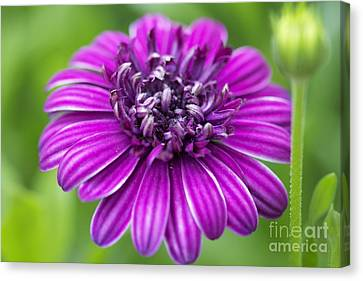 Blooming Daisy Canvas Print