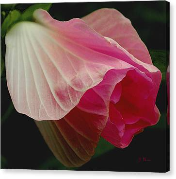 Blooming Hibiscus Canvas Print by James C Thomas