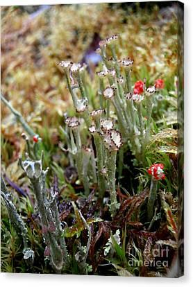 Blooming Lichen Canvas Print by Steven Valkenberg