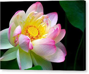 Blooming Lotus Flower Canvas Print