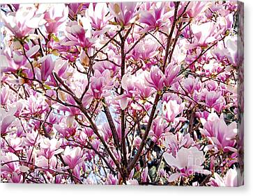 Blooming Magnolia Canvas Print by Elena Elisseeva