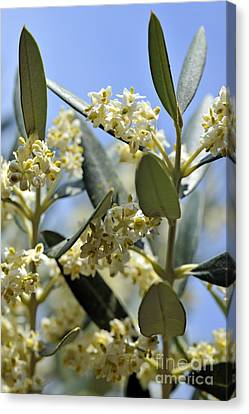 Blooming Olive Tree At Spring Canvas Print by Sami Sarkis