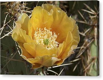 Blooming Prickly Pear Canvas Print