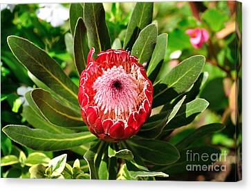 Blooming Protea Canvas Print by Kaye Menner